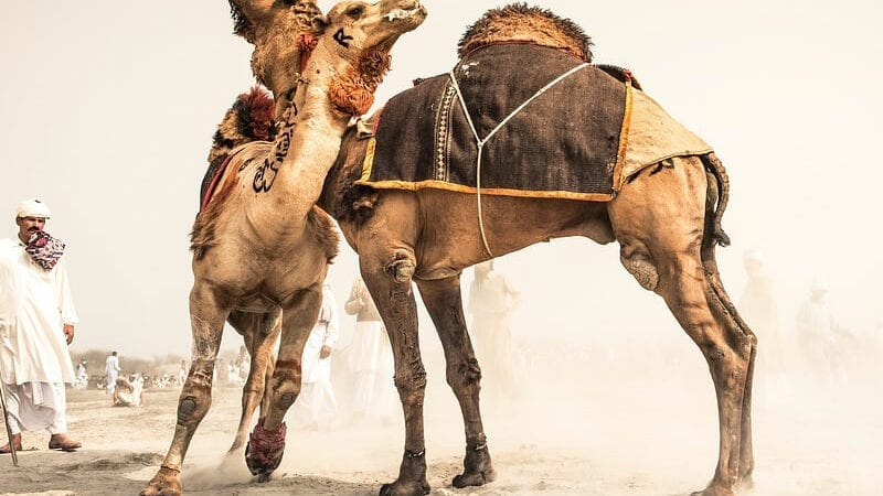 Camel fighting persists in Pakistan despite ban……Culture or cruelty?