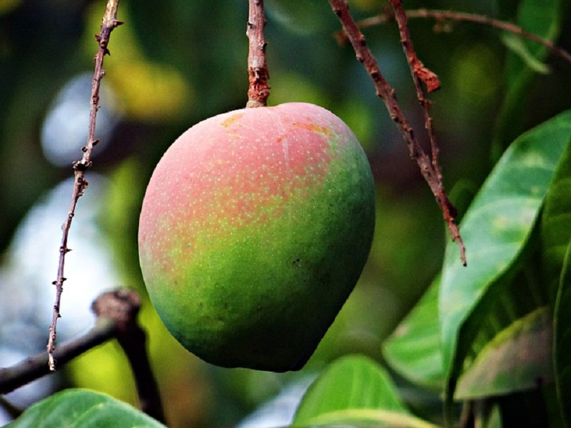 Bad weather hits mango manufacturing